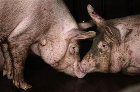 Pigs are seen before being slaughtered at a pork processing factory of Beijing Resource Group on the outskirts of Beijing July 19, 2011. REUTERS/Jason Lee