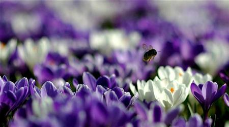 A bee collects pollen from a field of crocuses at Kew Gardens in London, March 17, 2005. REUTERS/Kieran Doherty