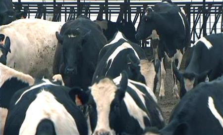 Dairy cows are shown near Hanford, California, where a cow sickened with mad cow disease was found at a rendering plant during routine testing, in this still image from video April 25, 2012. REUTERS/via Reuters TV