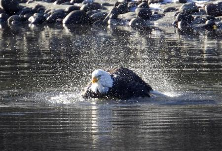 A bald eagle baths in the Squamish River in Squamish, British Columbia north of Vancouver, December 8, 2011. The eagles gather in the area each winter to feed on salmon chum in the local rivers. REUTERS/Andy Clark