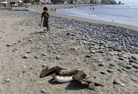 A child looks on as a dead pelican lies on Cerro Azul beach in Canete, Lima May 6, 2012. REUTERS/Mariana Bazo