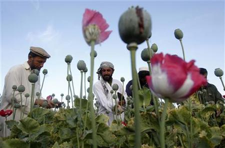 Afghan farmers work at a poppy field in Jalalabad province May 5, 2012. REUTERS/Parwiz