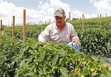 Tomato farmer Tim Battles looks over his growing crop in Oneonta, Alabama May 23, 2012. Battles planted just 12 of his 25 acres because of uncertainties engendered by the law. ''I've got $160,000, $170,000 in my crop,'' he said. ''Let's say (immigration enforcement officers) come in July and haul everyone off. I lose it all. What they're doing down in Montgomery (the state capital) is governing us out of a job.'' REUTERS/Marvin Gentry