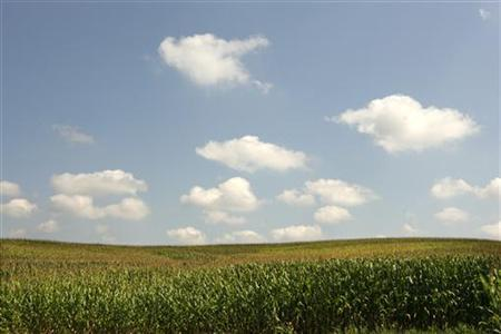 Large fields of corn growing in fields in Otisco, Indiana, August 25, 2009. REUTERS/John Sommers II