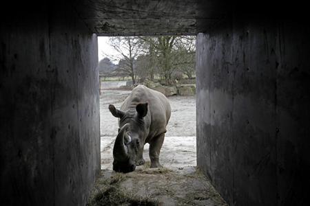 A Northern White Rhino named Sudan walks into a crate at the zoo in Dvur Kralove nad Labem in the Czech Republic December 16, 2009. REUTERS/Petr Josek
