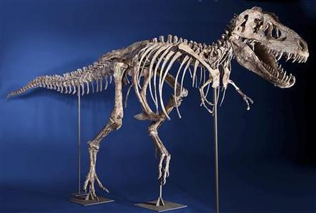An eight-foot tall, 24-foot long, 75% complete Tyrannosaurus bataar skeleton is seen in this undated handout photo from Heritage Auctions in New York. REUTERS/Heritage Auctions/Handout