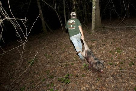 Guide Hunter Pritchett drags out a 60 pound a hog shot by Jason Weaver during a wild hog hunt at Great Southern Outdoors Wildlife Plantation in Union Springs, Alabama, June 16, 2012. REUTERS/Michael Spooneybarger