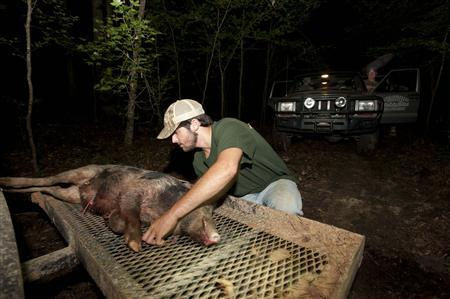 Guide Hunter Pritchett loads a 60 pound hog shot by Jason Weaver during a wild hog hunt at the Great Southern Outdoors Wildlife Plantation in Union Springs, Alabama, June 16, 2012. REUTERS/Michael Spooneybarger