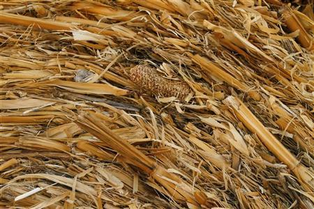 A piece of corn is seen in a hay bale at a farm in Fredericksburg, Texas September 9, 2011. REUTERS/Joshua Lott