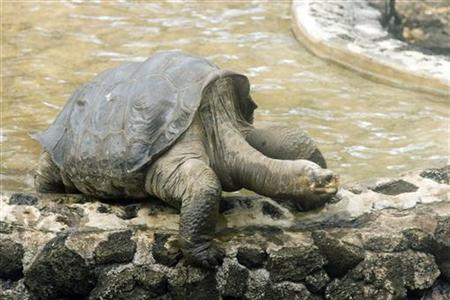 File photo of a Galapagos tortoise known as Lonesome George walking away from a pool on Santa Cruz island May 9, 2009. REUTERS/Teddy Garcia/Files