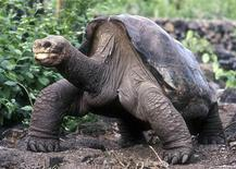 A lumbering giant Galapagos tortoise known as Lonesome George lifts his head up during a walk in his protected home in the island chain in Puerto Ayora in this February 5, 2001 file photo. Lonesome George, the last remaining tortoise of his kind and a conservation icon, died on June 24, 2012 of unknown causes, the Galapagos National Park said. He was thought to be about 100 years old. REUTERS/Stringer/Files