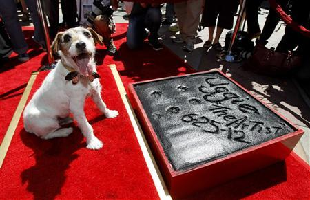 The dog Uggie, featured in the film ''The Artist'', is pictured after leaving his paw prints in cement in the forecourt of the Grauman's Chinese theatre in Hollywood, California June 25, 2012. REUTERS/Mario Anzuoni