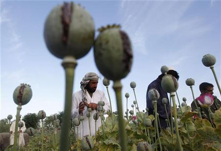 Afghan farmers work at a poppy field in Jalalabad province May 5, 2012. REUTERS/ Parwiz