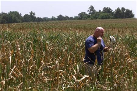 Farmer Michael Reynolds of Calvert County, MD. inspects some of his corn that has wilted under the intense heat and drought conditions that have plagued the area this summer, July 28 1999.