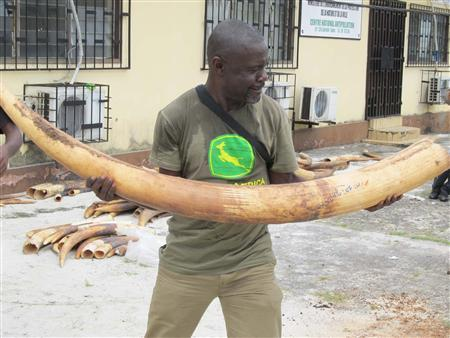 A man holds up an ivory tusk in Gabon, in this undated handout photo. The central African nation of Gabon will burn its government stockpiles of ivory on June 27, 2012 against the backdrop of a surge in the killing of elephants and rhinos across the continent to meet surging Asian demand. REUTERS/TRAFFIC/Handout