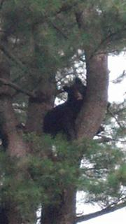 A black bear is seen in a tree in Brookline, in this handout photo posted by the Brookline Massachusetts police June 26, 2012. A male black bear captured on Cape Cod earlier this month, where it was tranquilized and moved to central Massachusetts, showed up again on Tuesday just six miles from downtown Boston. State officials said they had captured the bear in a tree in the Chestnut Hill area of Brookline, just west of Boston, and confirmed it was the same bear which roamed the Cape for about two weeks before being captured and relocated on June 12. REUTERS/Brookline Police/Handout