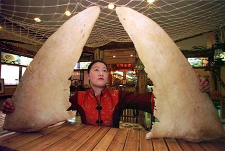Waitress Li Pingbo, 22, from northeast China looks up at large sharks' fins she is about to arrange for display in a Beijing restaraunt December 29,1997. REUTERS/Will Burgess/Files
