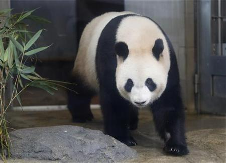 A female giant panda Xiannu, named Shin Shin in Japan, is seen through a window glass at Ueno Zoological Park in Tokyo June 28, 2012. REUTERS/Issei Kato