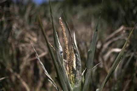 A corn plant, damaged due to lack of water, is photographed in a corn field in Centerville, Iowa July 11, 2012. REUTERS/Adrees Latif