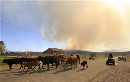 Ranchers herd cattle through town to a new location after fire officials ordered the evacuation of Fairview, Utah as the Wood Hollow fire approaches the town June 26, 2012. REUTERS/George Frey