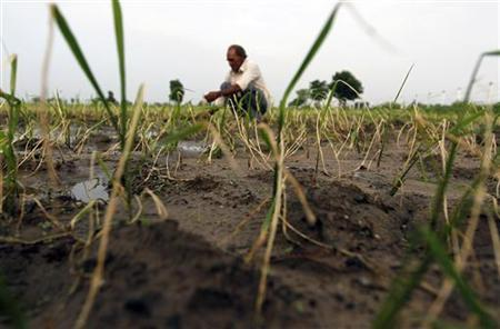 A farmer removes dried-up rice plants in his field in Zap village, about 56 km (35 miles) west of Ahmedabad, July 13, 2012. REUTERS/Amit Dave