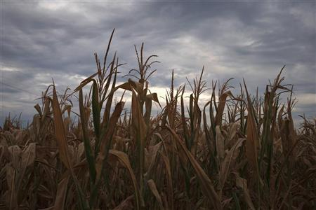 A drought affected corn crop is seen near Paris, Missouri July 13, 2012. REUTERS/Adrees Latif