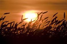 Колосья пшеницы, сфотографированные на закате в поле в 500 километрах к северо-западу от Астаны, 26 авугста 2010 года. Казахстан, обеспокоенный засухой в нескольких зерносеющих областях страны, надеется собрать 14 миллионов тонн зерна нового урожая и предполагает экспортировать 10 миллионов тонн в период с июля 2012 года по июль 2013 года, сказал вице-министр сельского хозяйства Муслим Умирьяев. REUTERS/Shamil Zhumatov