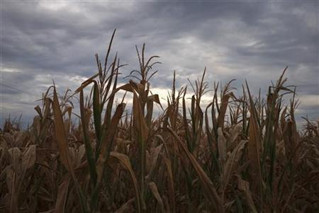A drought affected corn crop is seen near Paris, Missouri July 13, 2012. REUTERS/Adrees Latif