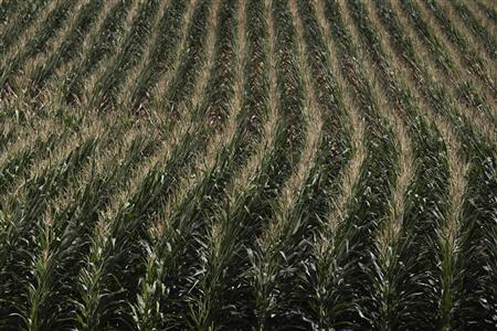 A drought stricken corn field is seen in DeWitt, Iowa July 12, 2012. REUTERS/Adrees Latif