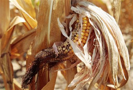 Corn plants are seen in a drought-stricken farm field near Evansville, Indiana, July 18, 2012. REUTERS/John Sommers II