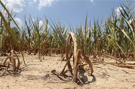 Corn plants struggle to survive in a drought-stricken farm field near Evansville, Indiana, July 18, 2012. REUTERS/John Sommers II