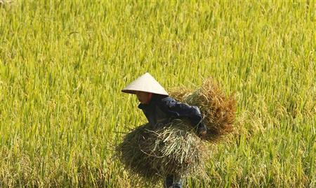 A farmer carries rice crops while harvesting on a rice paddy field in Thuy Huong village, outside Hanoi June 3, 2012. REUTERS/Kham