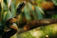 A boa constrictor snake is seen at Zoological Garden in San Jose, August 20, 2007. REUTERS/Juan Carlos Ulate