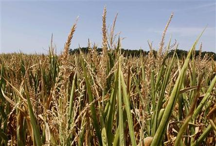 Corn plants struggle to survive in drought-stricken farm fields in Ferdinand, Indiana, July 24, 2012. REUTERS/ John Sommers II