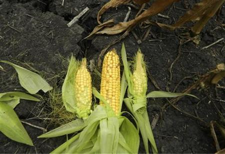 Drought-damaged ears of corn are seen against dry, cracked earth on a farm near Fairbury, Illinois July 24, 2012. REUTERS/Karl Plume