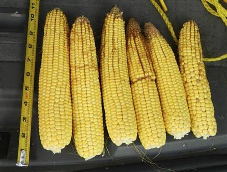 Cobs of drought-damaged corn are pictured near Humboldt, Iowa July 27, 2012. REUTERS/Karl Plume