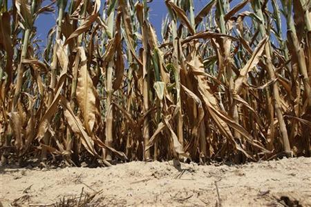 Corn plants struggle to survive in drought-stricken farm fields in Ferdinand, Indiana July 24, 2012. REUTERS/ John Sommers II