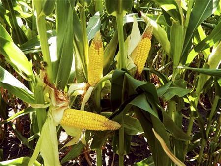 Cobs of drought-damaged corn are pictured near Kewanee, Illinois July 26, 2012. REUTERS/Karl Plume