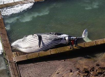 Police and wildlife rangers stand next to a dead humpback whale lying in a rock pool at Newport beach in Sydney August 1, 2012. REUTERS/Daniel Munoz