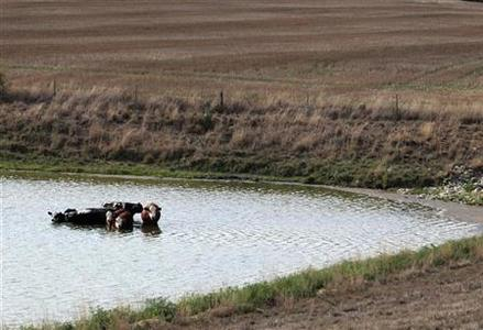 Cattle cool off in a pond by a drought-stricken farm in Oakland City, Indiana, July 24, 2012. REUTERS/ John Sommers II
