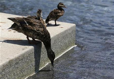 A duck leans down to drink water at the fountains at the National World War II Memorial during a heat wave at the nation's capital Washington July 6, 2012. REUTERS/Larry Downing