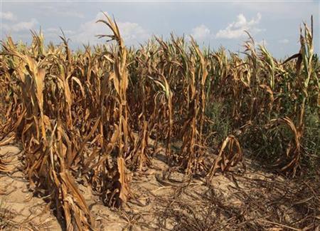 Corn plants struggle to survive on the drought-stricken land of farmer Scott Keach who owns 2500 acre Keach Farm in Henderson, Kentucky, July 24, 2012. REUTERS/ John Sommers II