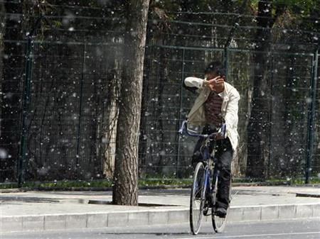 A man tries to cover his face as he rides his bicycle through cotton-like seeds from Poplar trees, also known as Cottonwood trees, on a Spring day in Beijing April 14, 2008. REUTERS/David Gray