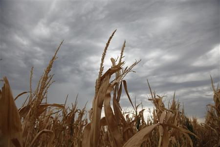 A damaged corn crop in Harvey County, in central Kansas August 7, 2012. REUTERS/Jeff Tuttle