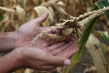 A damaged corn crop in Rice County, in central Kansas August 7, 2012. REUTERS/Jeff Tuttle