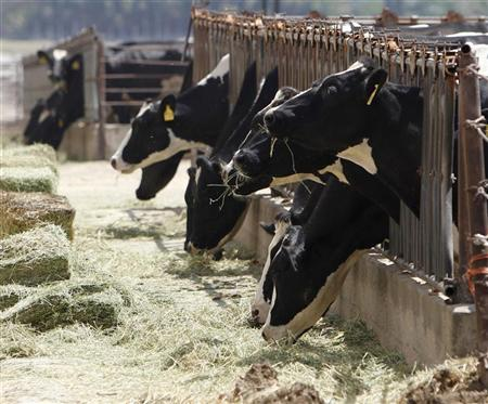 Dairy cows feed from a trough in Chino, California, April 25, 2012. REUTERS/Alex Gallardo