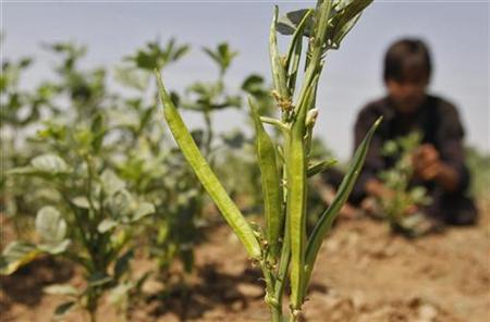Guar crop is seen growing in a field at Shinoli village in the western Indian state of Gujarat April 3, 2012. REUTERS/Amit Dave