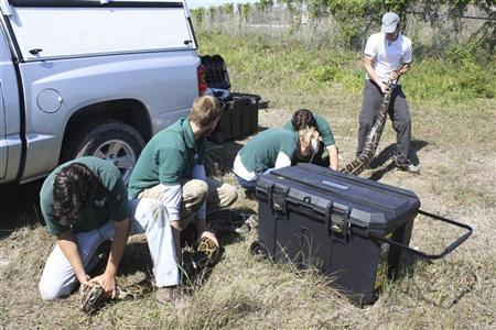 United States Geological Survey (USGS) researchers recapture a 17-foot, 7-inch (5.36 m) long Burmese python in Everglades National Park near Homestead, Florida in this handout photo taken on April 23, 2012. REUTERS/Catherine Puckett/USGS/Handout