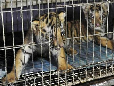 Tiger cubs, recovered from poachers who had planned to smuggle the animals out of the country, are seen in an iron cage in the custody of Rapid Action Battalion (RAB) in Dhaka June 12, 2012. REUTERS/Anwar Hossain Joy