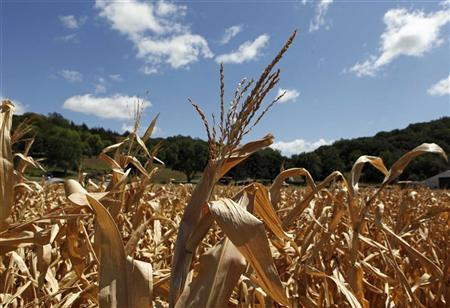 A general view of drought-damaged corn stalks at the McIntosh family farm in Missouri Valley, Iowa, August 13, 2012. REUTERS/Larry Downing
